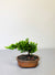 Mini Bonsai Tree Indoor Plant