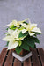 Simple Elegance Poinsettia Indoor Planter