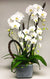Pure Elegance Orchid Planted Container