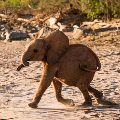 Bondeni orphan elephant rescued by David Sheldrick Wildlife Trust