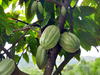 A Story of Fairness and Sustainability in the Cocoa Trade