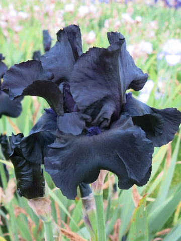 Before the Storm - Bearded Iris