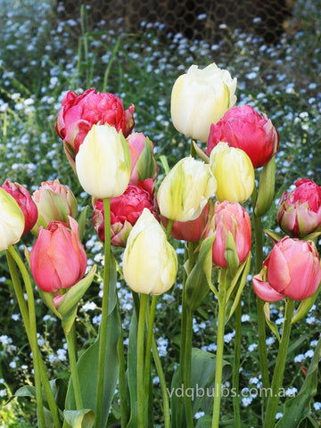 Blooms Away Blend - Tulips