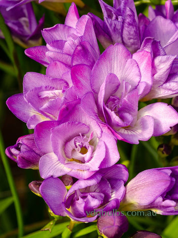 Blue Double Freesias