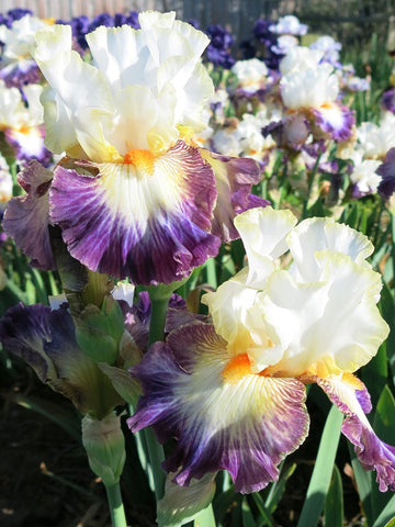 Boulevard Jazz - Bearded Iris