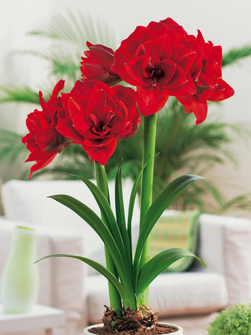 Cherry Nymph - Hippeastrum
