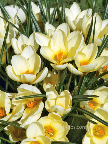Cream Beauty - Crocus
