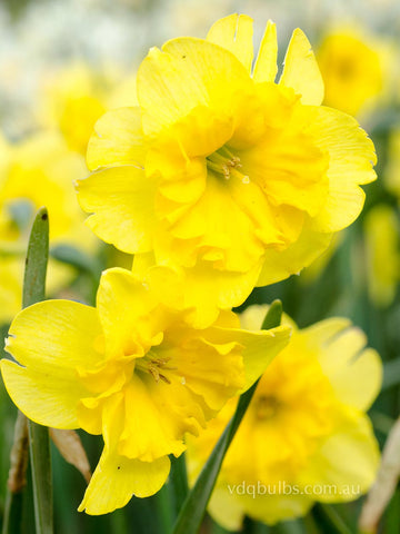 Curly Lace - Daffodil