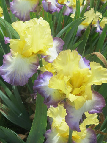 Designer's Art - Bearded Iris