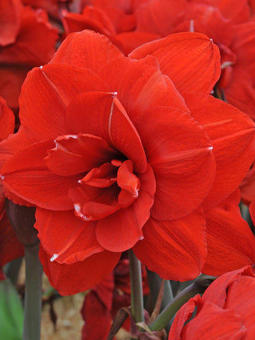 Double Dragon - Hippeastrum