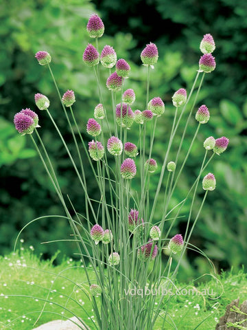 Drumsticks - Allium