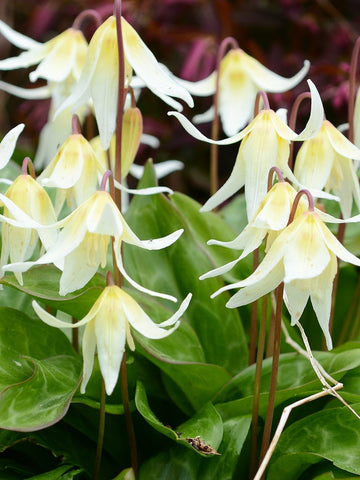 "Erythronium ""White Beauty"""