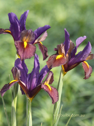 Eye of the Tiger - Dutch Iris