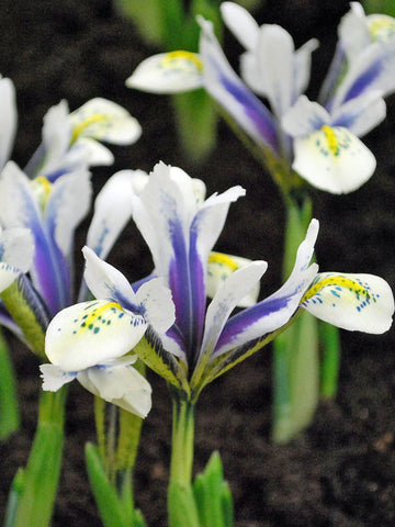 Eye Catcher - Iris Reticulata