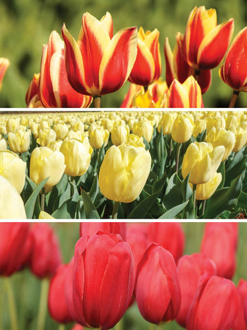 Fierce and Fiery Trio Blend - Tulips
