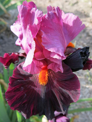 Fiery Temper - Bearded Iris