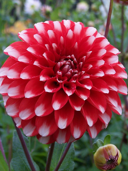 Fire and Ice - Dahlia