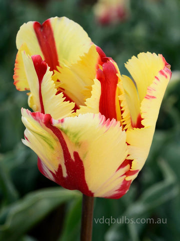 Flaming Parrot - Tulip