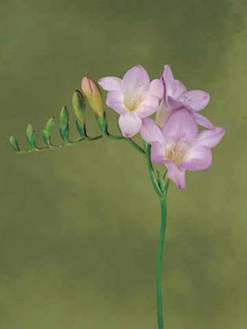 Blue Single Freesias