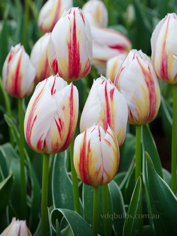 Happy Generation - Tulip