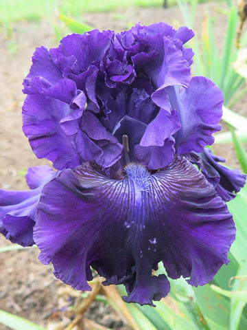 Hollywood Nights - Bearded Iris