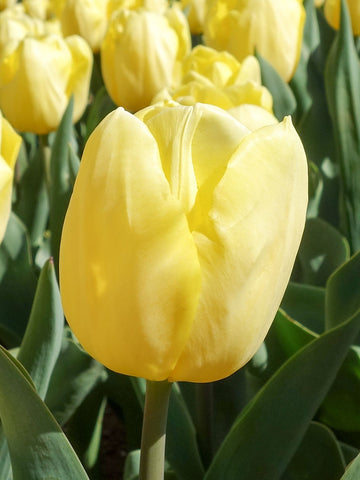 Lemon Delicious - Tulip