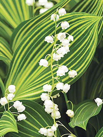 Lily of the Valley - Variegated Leaf