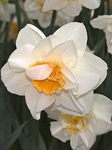 Madison - Daffodil