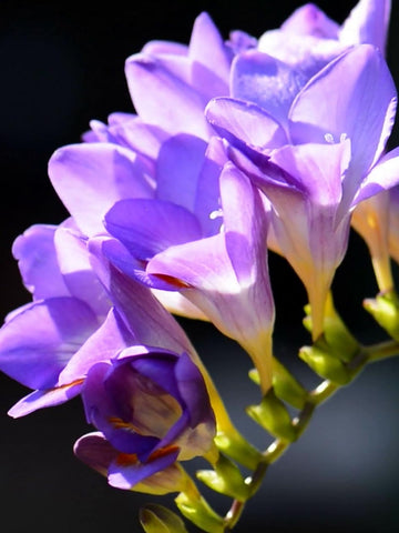 Mauve Single Freesias