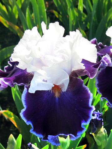 Merry Amigo - Bearded Iris