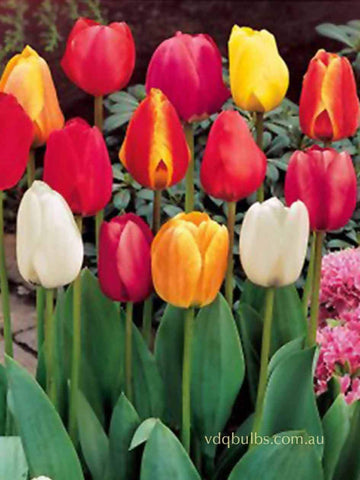 Mixed Darwin Hybrid Tulips