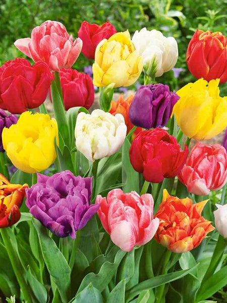 Mixed Double Tulips