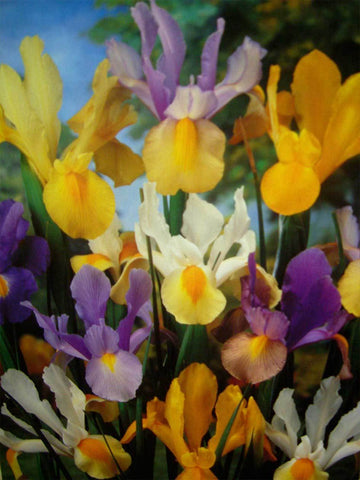 Wholesale-Mixed Dutch Iris