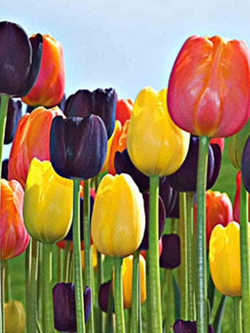 Mixed Single Late Tulips