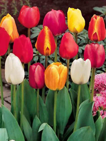 Mixed Triumph Tulips