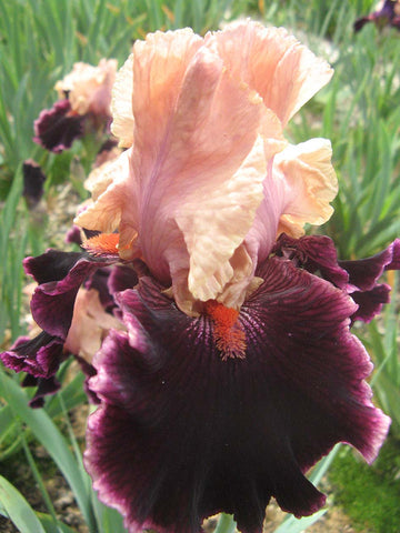 Moroccan Magic - Bearded Iris