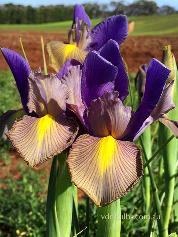 Mystic Beauty - Dutch Iris