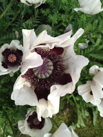 Papaver 'Royal Wedding'