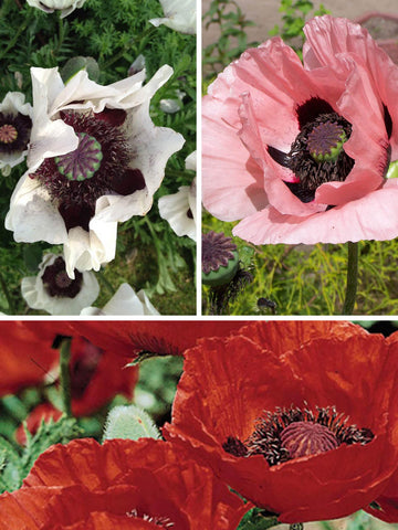 Ornamental Poppies Collection