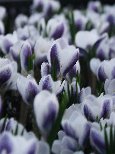 Prins Clause - Crocus