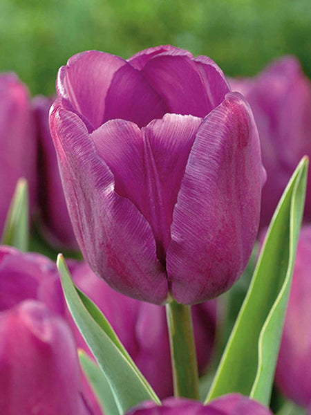 Purple Flag - Tulip