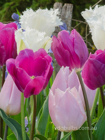 Purple Plans Blend - Tulips