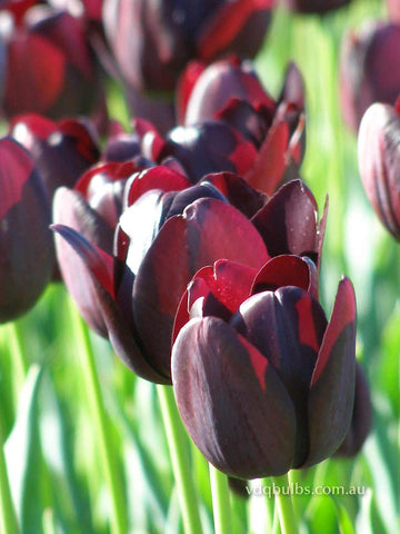 Queen of Night - Tulip