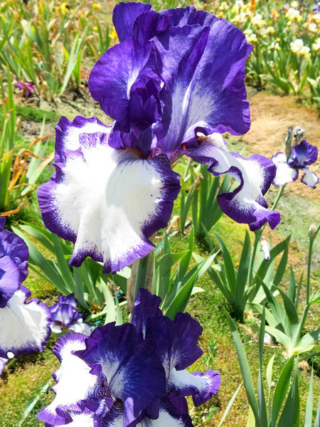 Rare Quality - Bearded Iris