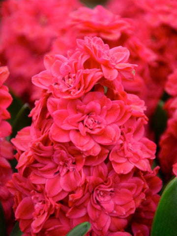 Red Diamond - Hyacinth