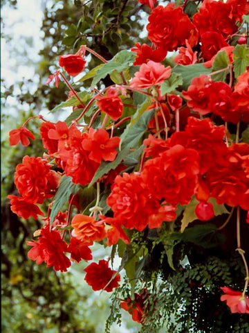 Red Hanging Basket- Begonia