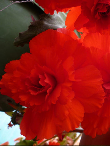 Red Ruffled - Begonia