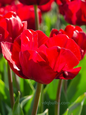 Red Saigon - Tulip