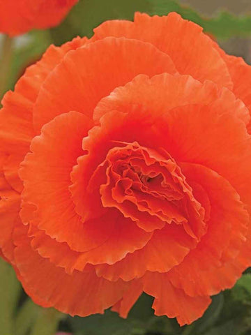 Salmon Ruffled - Begonia