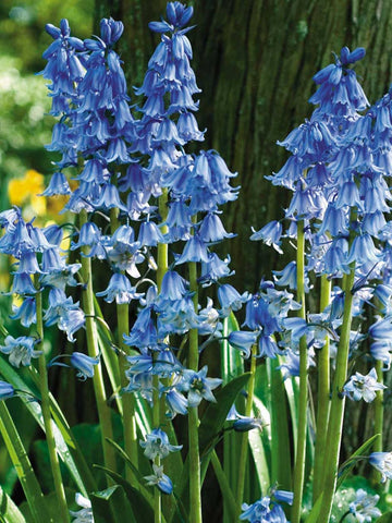 Scilla hispanica - Blue